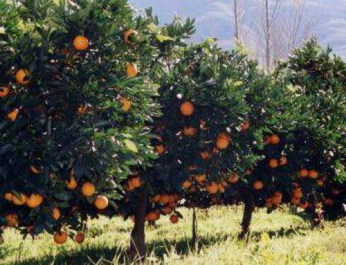 Record year for South African citrus exports