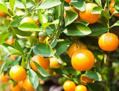South Africa to produce more citrus fruits this season