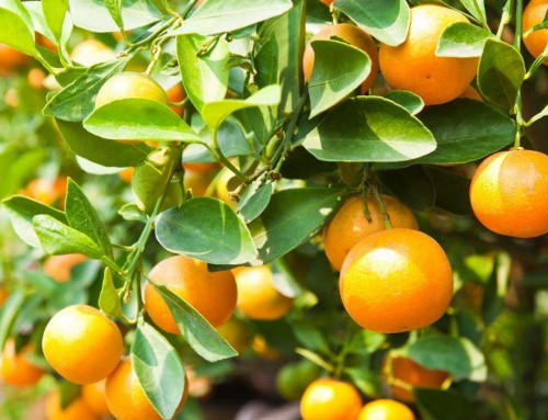 Demand for untreated citrus is growing steadily