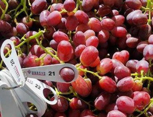 The new jumbo grape varieties taking on Japan