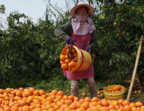 Shatang oranges leave the market wide open for Orah mandarins