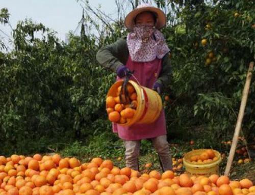 Shatang oranges leave the market wide open for Orah mandarins