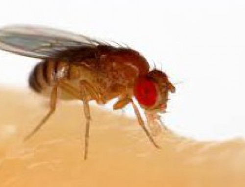 Table grape growers using inventiveness to fight fruit fly