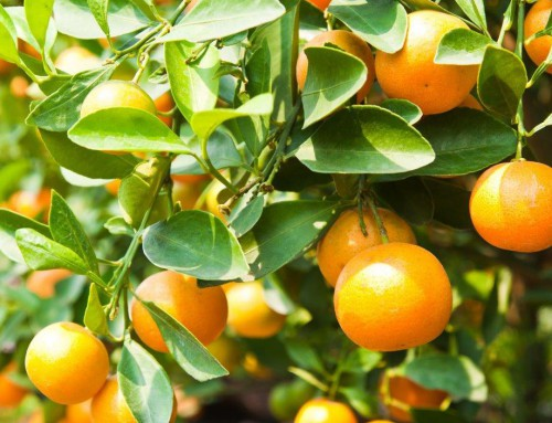 Frescitrus expects 30% drop in Spanish citrus production