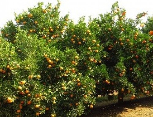 Research into citrus fruit drop