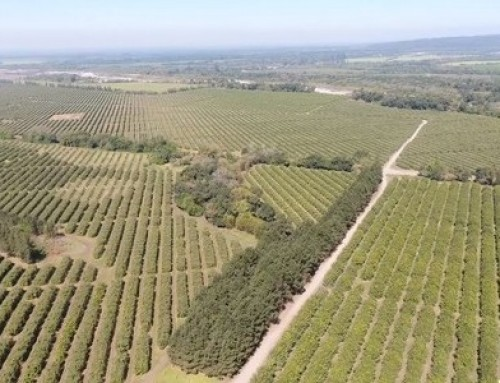 Organic lemon grove surpasses 100 000 tree mark