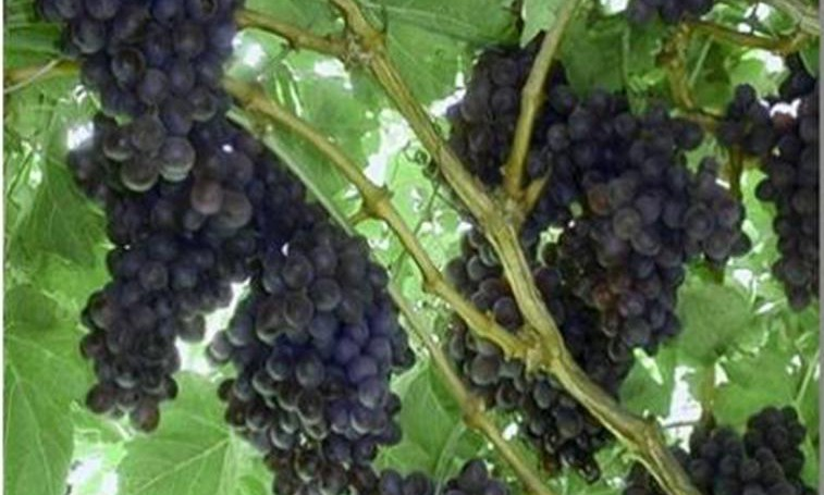 Vredendal table grape volumes down due to December heatwave