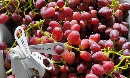 SA grape season running slightly late