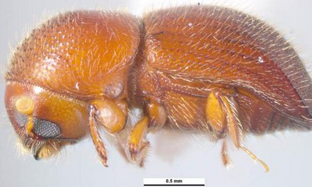 Threat from shot hole borer beetle