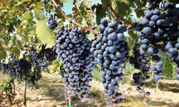 New grape varieties are becoming increasingly important