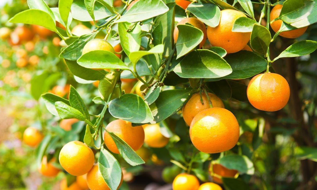 Citrus industry generates billions in exports despite bruising year