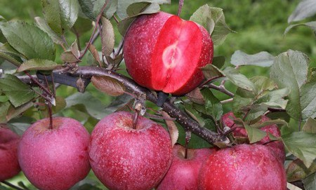 Red-fleshed apples gain popularity