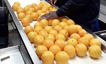 Inspection & loading of citrus for Japan at 2 Cape facilities