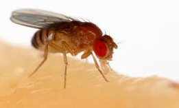 Good post-harvest hygiene essential to limit fruit fly