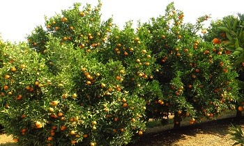 SA welcomes EC decision on alleged damage to Spanish citrus campaign
