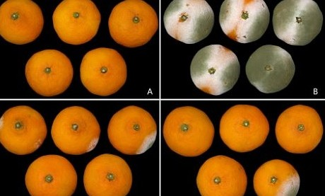 Bacillus sp. w176 against postharvest green mould in citrus